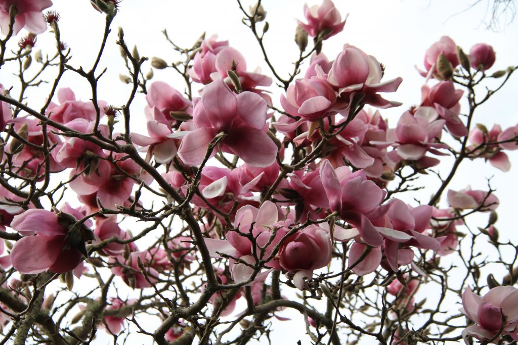 The last of the magnolias. They have been amazing for the last 6 weeks.