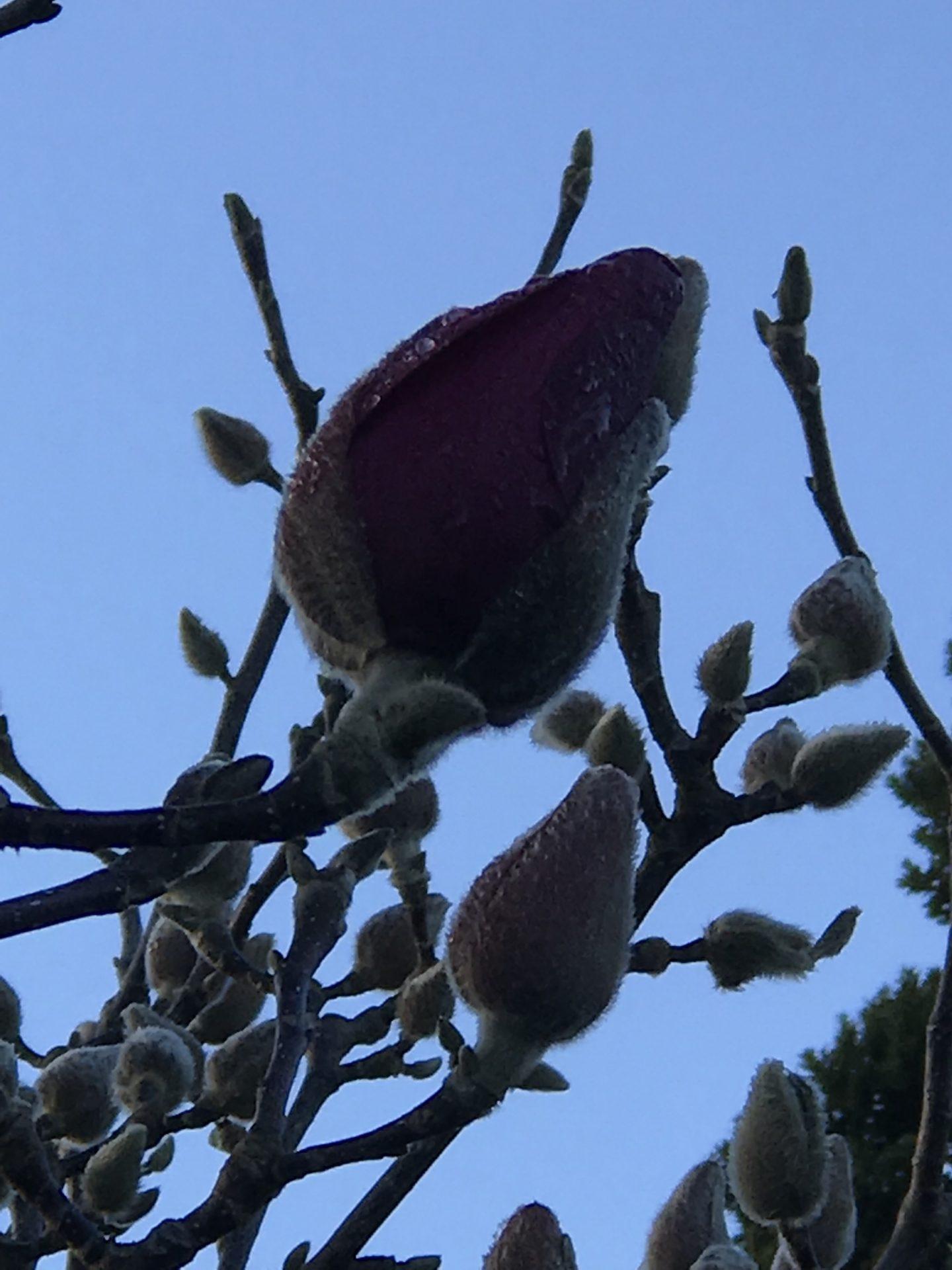 Magnolia Vulcan flowers start